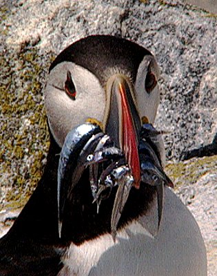 PUFFIN%20WITH%20FISH.jpg